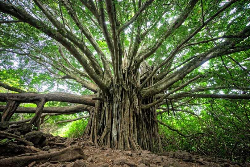 A large, sprawling tree.